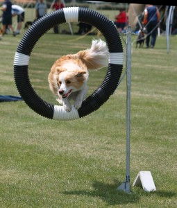 1184474-red-border-collie-jumping